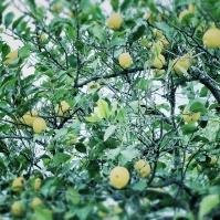 Limonea limonea